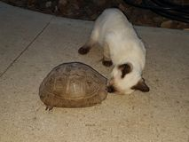 A cat and a turtle meets in the garden. A  siamese cat and a turtle meets on  a path in the garden for a sniff Royalty Free Stock Photo