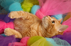 Cat Tutu 5. Tiger stripped cat at play kidding in a tutu Stock Images