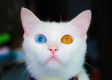 Cat with two-color eyes. Looking up for something royalty free stock photography