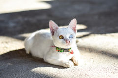 Cat two color's eyes Royalty Free Stock Photos