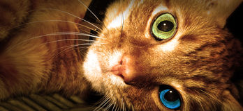 Cat with two colored eyes. Domestic Cat with two colored eyes Royalty Free Stock Images