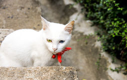 White Cat with Two Different Colored Eyes. Thai cat with blue and yellow eyes Stock Photography