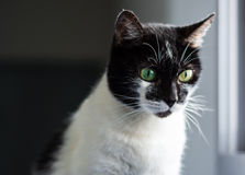 Cat with two different eye colors. A cute young cat with two different eye colors Stock Photography