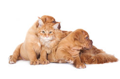Cat and two dog. Red cat and two red pups. Maine coon cat and puppy Bordeaux on a white background Royalty Free Stock Photos