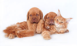 Cat and two dog Royalty Free Stock Images
