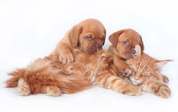 Cat and two dog. Red cat and two red pups. Maine coon cat and puppy Bordeaux on a white background Stock Images