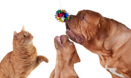 Cat and Two dogs playing Royalty Free Stock Photos