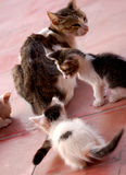Cat with two kittens Royalty Free Stock Photography