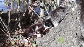 Cat and two kittens. Bask in sun stock video