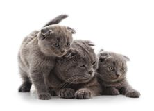 Cat and two kittens. Cat and two kittens on a white background Stock Photography