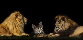 Cat in between two lions.  Royalty Free Stock Image