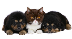 Cat and two pup. Cat and two pup on a white background stock photo