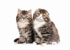 Cat. Two Scottish highland kittens with white on white backgroun Stock Photo