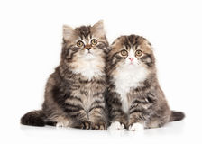 Cat. Two Scottish highland kittens with white on white backgroun Stock Images