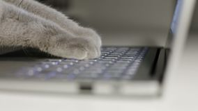 Cat is typing text on a laptop. Scottish fold Cat. Slow motion stock video footage