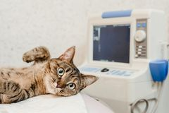 Cat on ultrasound scan stock image