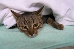 Cat under the bedding Stock Photos