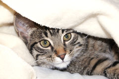 Cat under a blanket. Gray cat looks from under a white blanket Royalty Free Stock Photo
