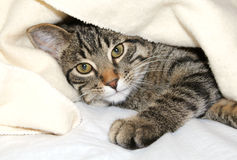 Cat under a blanket. Gray cat resting under a blanket Stock Photo