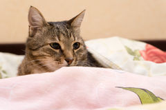 Cat under a blanket. Beautiful cat under a blanket Stock Photo