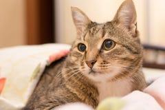 Cat under a blanket. Beautiful cat under a blanket Stock Photos