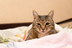 Cat under a blanket. Beautiful cat under a blanket Royalty Free Stock Images
