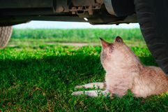 Cat Under car. Shorthair pet lying on the green grass under car and looks to the side. Rear view. Royalty Free Stock Photography