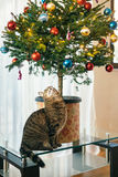 The cat under the Christmas tree. Small tree in a pot in the apa. Rtment is on the glass coffee table Royalty Free Stock Photography