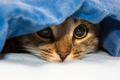 Cat under cover. Cat under a blue blanket Royalty Free Stock Photography
