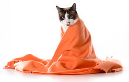 Cat under cover Stock Images