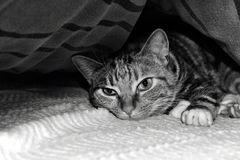 Cat. Under the covers, wallpaper, nice pet for children, lazy, likes to sleep, loves the heat Royalty Free Stock Image