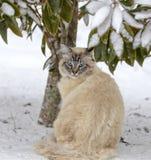 Cat Under de olhos azuis uma árvore na neve Fotos de Stock