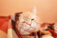 Cat Under Plaid Fotos de archivo