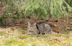 Cat under the spruce Stock Photos