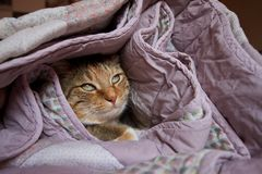 Cat undercover. European cut shot undercover in winter Royalty Free Stock Photography