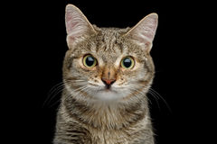 Cat with unusual wide nose on Black background Royalty Free Stock Photo
