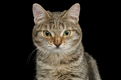 Cat with unusual wide nose on Black background Stock Images