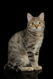 Cat with unusual wide nose on Black background Royalty Free Stock Photography