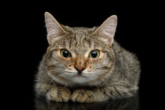 Cat with unusual wide nose on Black background Stock Photos