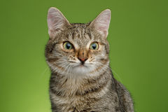Cat with unusual wide nose on Green background Royalty Free Stock Photo