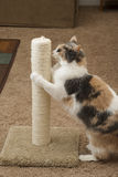 Cat using scratching post Royalty Free Stock Images