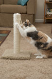 Cat using scratching post. An adult muted calico cat using a scratching post with living room surroundings Royalty Free Stock Photo