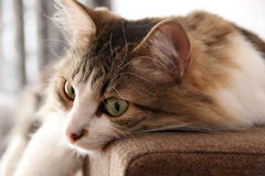 A cat. Cat on vacation at home on sofa royalty free stock photo