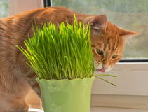 Cat and vase of fresh catnip Stock Photos