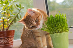 Cat and vase of fresh catnip. Cat sniffing and munching a vase of fresh catnip Stock Photo