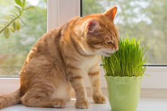 Cat and vase of fresh catnip. Cat sniffing and munching a vase of fresh catnip Royalty Free Stock Image