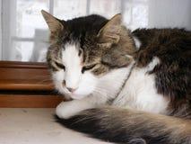 Cat on a Venetian window Stock Photography