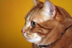 CAT VERMELHO DO CABELO Foto de Stock Royalty Free