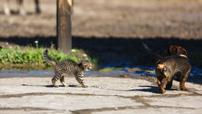 Cat versus dog. Confrontation of a kitten and a dog in the countryside Royalty Free Stock Photography