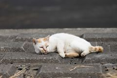 White and red cat. Cat is very cute animal Royalty Free Stock Photo